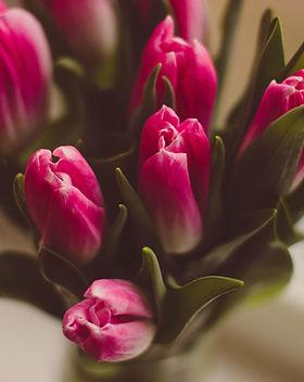 púrpura de los tulipanes