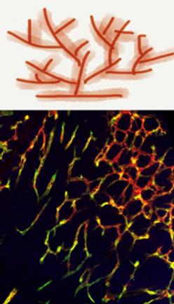 Vascular Biology.png