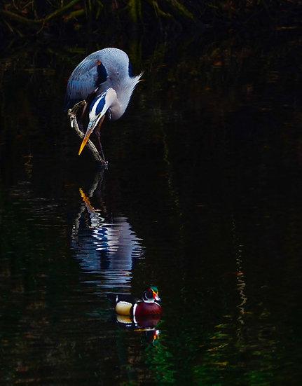 Blue Heron Wood Duck