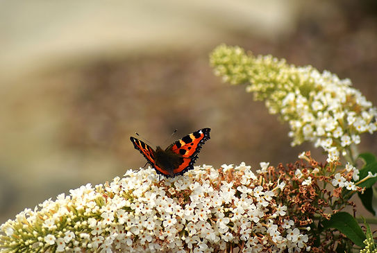 A red butterfly sat on tiny white flowers