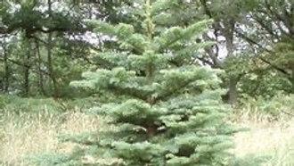 6 ft Nobel Fir Christmas Tree   Stafford Select