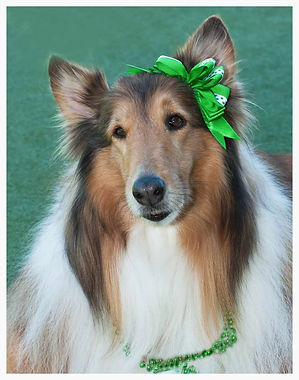 Collie Rescue Texas, Collie Rescue Houston, Collies Rescue, Freedom Collie Rescue
