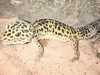 Do You Eat Like a Leopard Gecko?