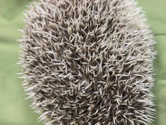 Happy the Hedgehog