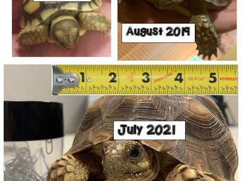Suli the Sulcata Tortoise