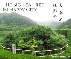 Big Tea Tree in Happy City
