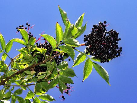 Sambucus (Elderberry)