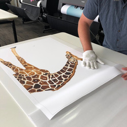 Amber the Giraffe