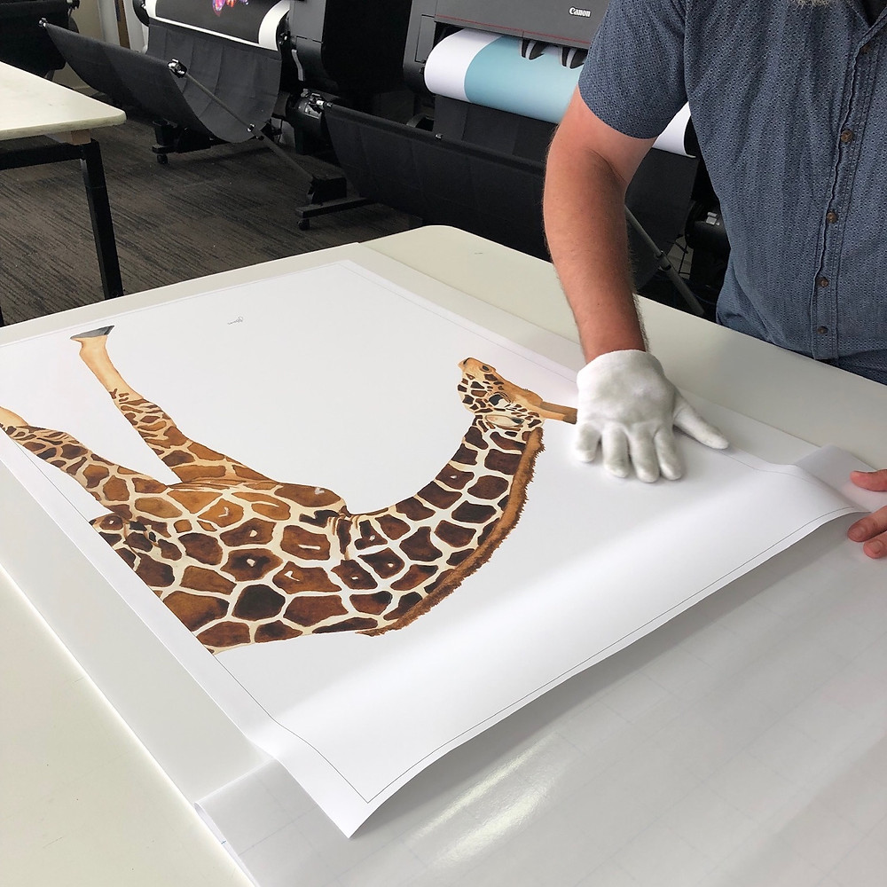 Amber the Giraffe getting ready to be framed