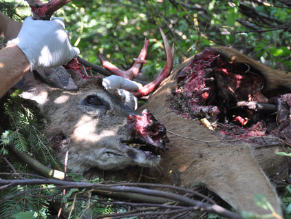 Mountain Lion Kill-Site Forensics: Identifying Predation, Scavenging and Kleptoparasitism