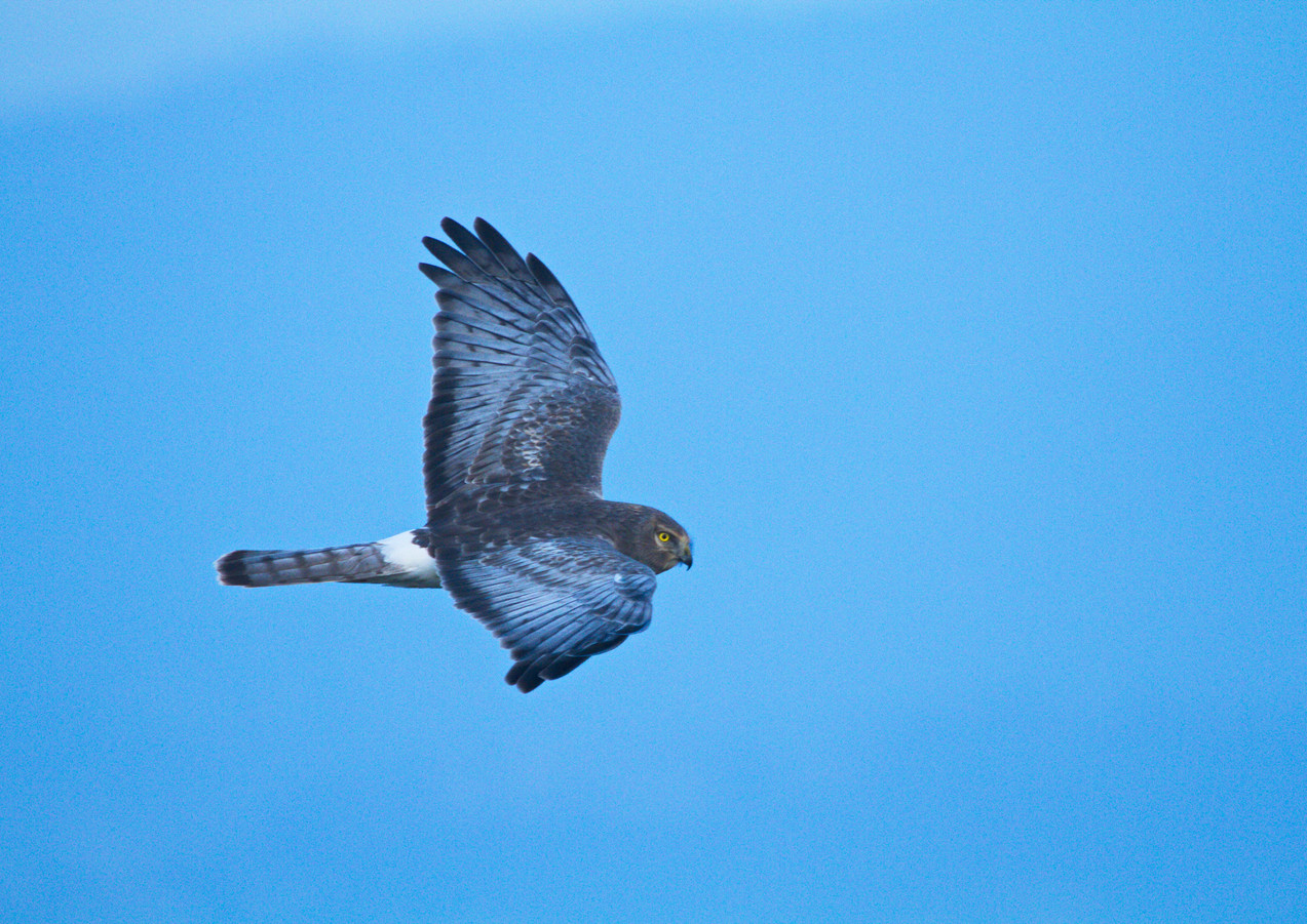 Male Harrier atop Loma Alta.jpg
