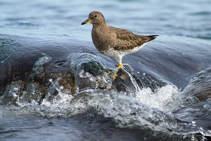 surfbird-calmly-wades-phil-johnston.jpg