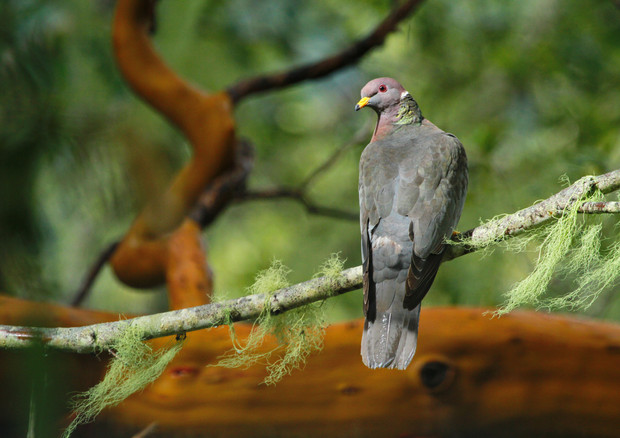 Band-Tailed Pigeon Uno.JPG