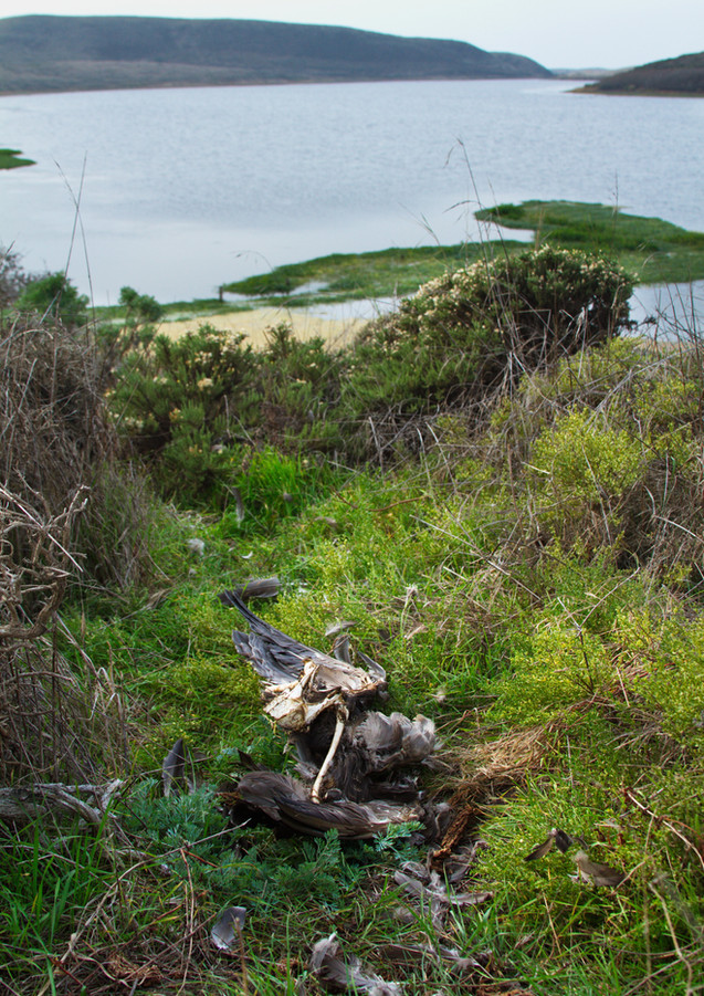 Canada Goose Killed by Bald Eagle.jpg