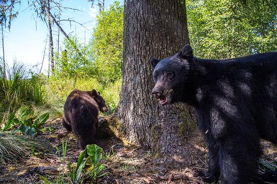 Black Beark Mating #4.jpg