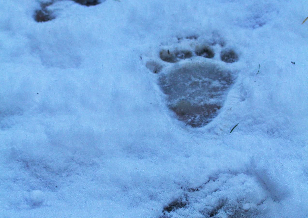 Black Bear Tracks in Snow.jpg