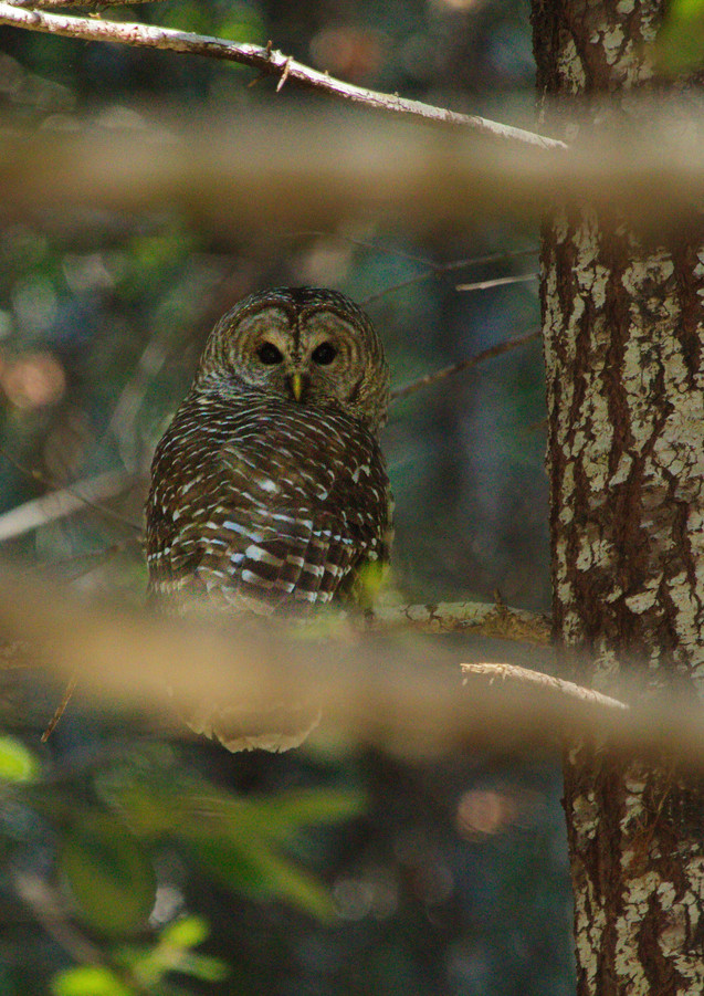 Barred Owl in Leary Creek.jpg