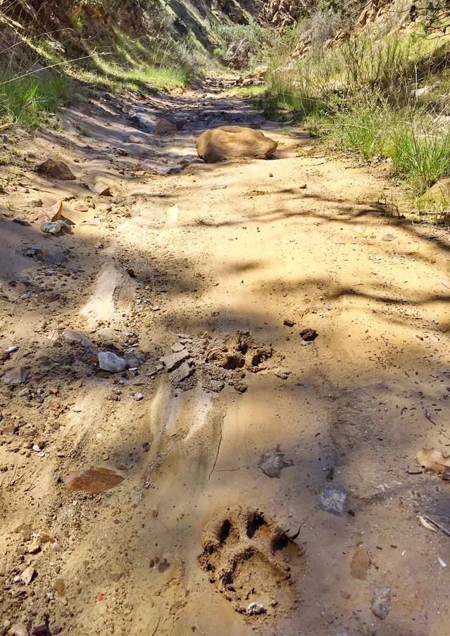 lion tracks in gully SLO edited.jpg