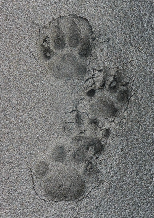 Male and Female Jaguar Tracks.JPG