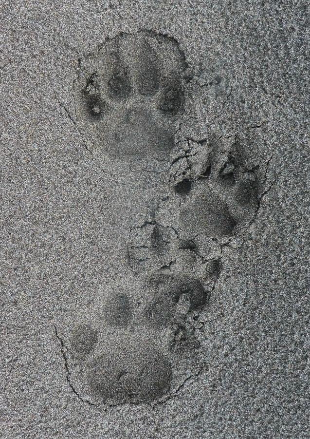 Male and Female Jaguar Tracks.JPG