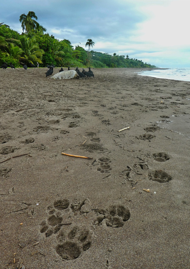 Male and Female Jaguar Tracks at Sea Tur