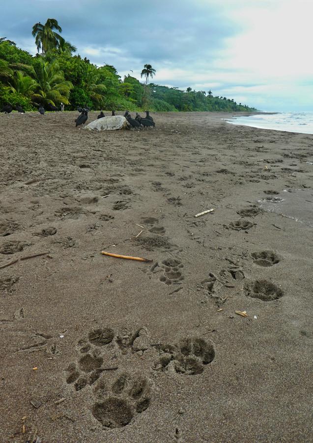 Male and Female Jaguar Tracks at Sea Tur