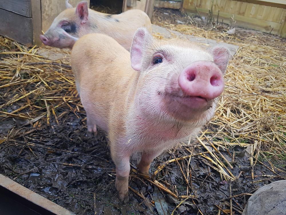 Happy pigs at F.R.I.E.N.D Animal Sanctuary