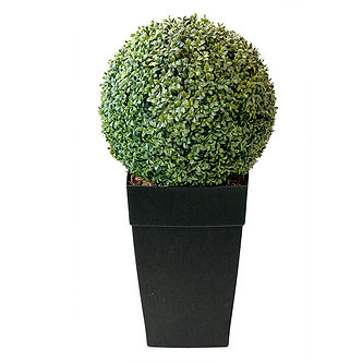 Outdoor Boxwood