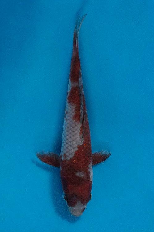 16cm Ochiba (Oofuchi)