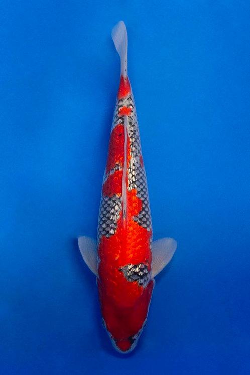 34cm Gin Rin Goshiki (Aokiya)