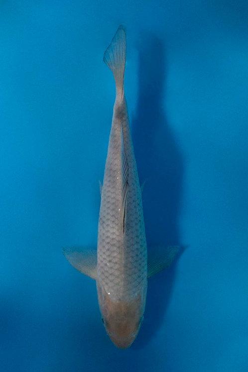 21cm Jumbo Soragoi (Okawa)