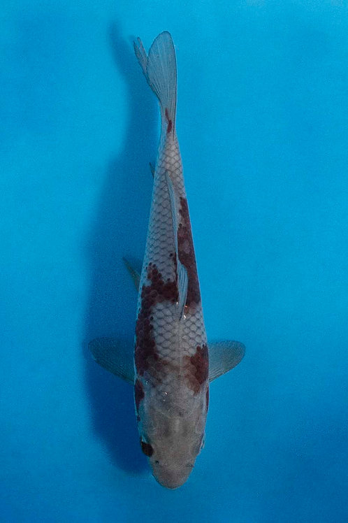 17cm Ochiba (Oofuchi)