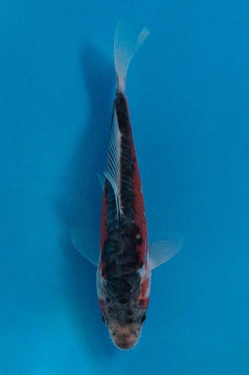 12cm Shusui (Otsuka)