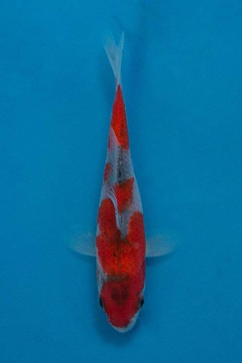 10cm Goshiki (Kawakami)