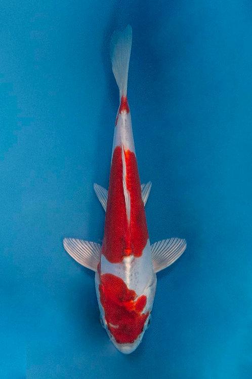 16cm Kikusui (NND)