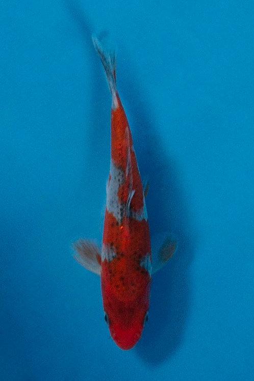 12cm Goshiki (Kawakami)