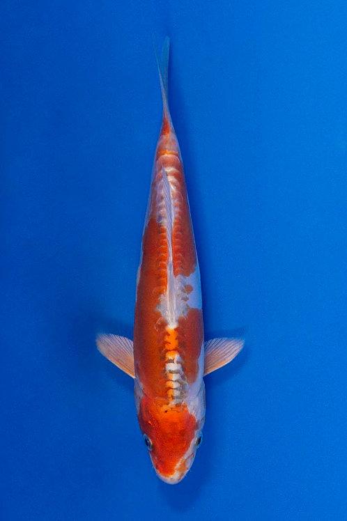 24cm Kikusui (Sakazume)