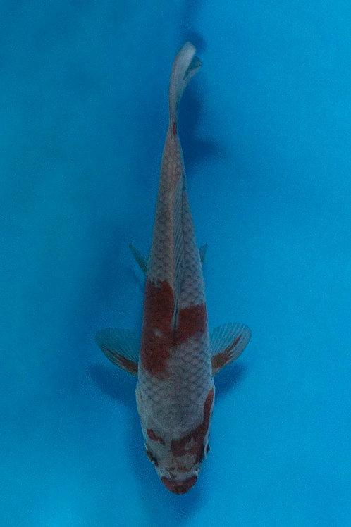 15cm Ochiba (Oofuchi)