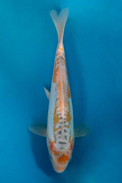 26cm Aya Wakaba (Marusaka)