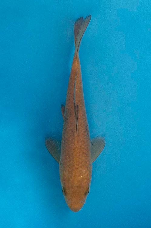 16cm Chagoi (Okawa)