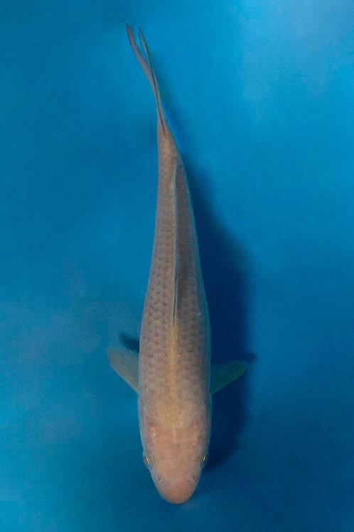 18cm Chagoi (Hirasawa)