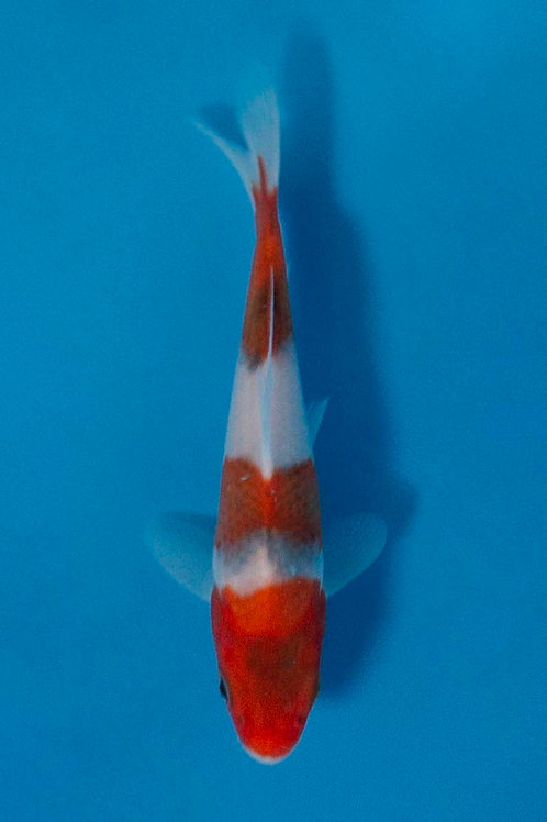 13cm Goromo (Otsuka)