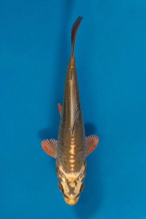 14cm Doitsu Mukashi Ogon (Maruhiro)