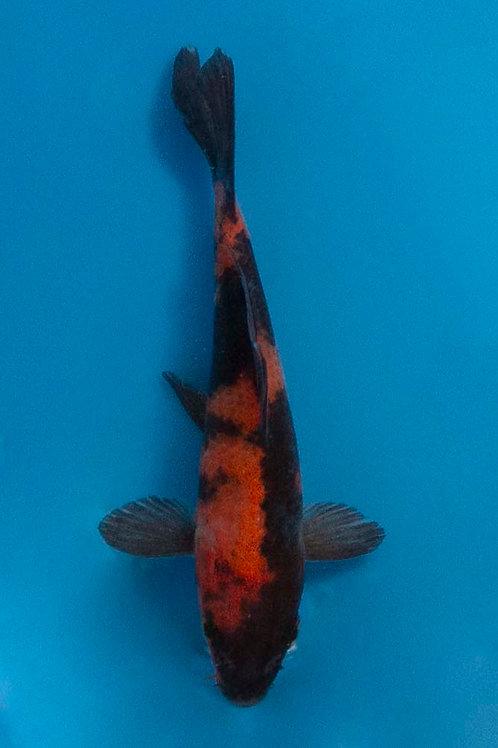 13cm Hi Utsuri (Hirasawa)