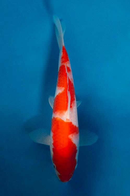 21cm Jumbo Kohaku Tosai (Maruhide)