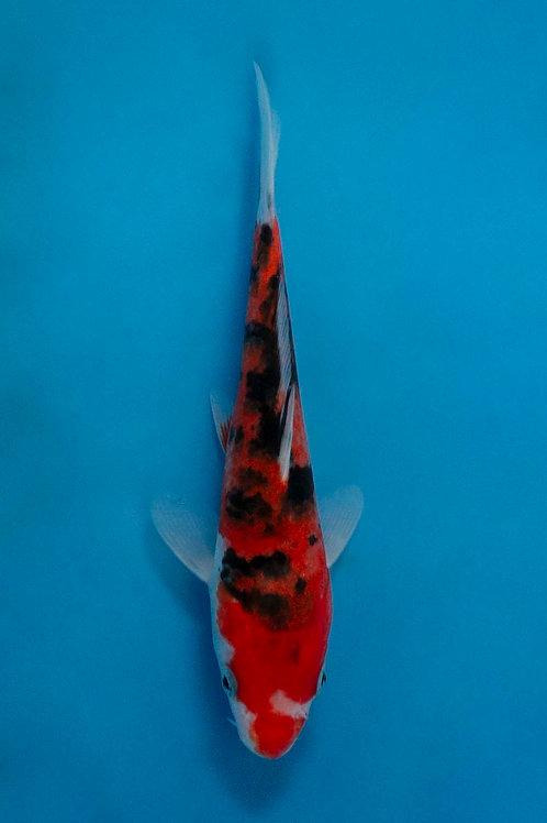 16cm Sanke (Hirasawa)