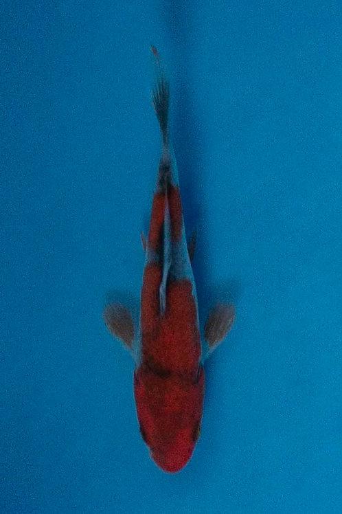 8cm Goshiki (Kawakami)