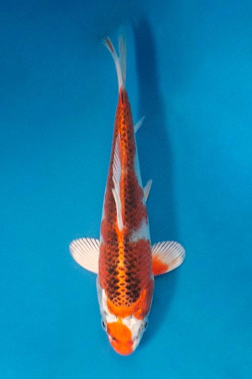 18cm Kujaku (Tanaka)