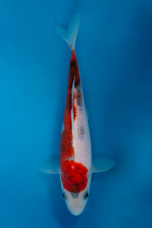 18cm Budo Goromo (Sakazume)
