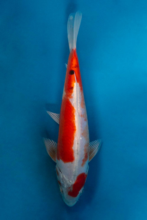 21cm Yamatonishiki (Sakazume)